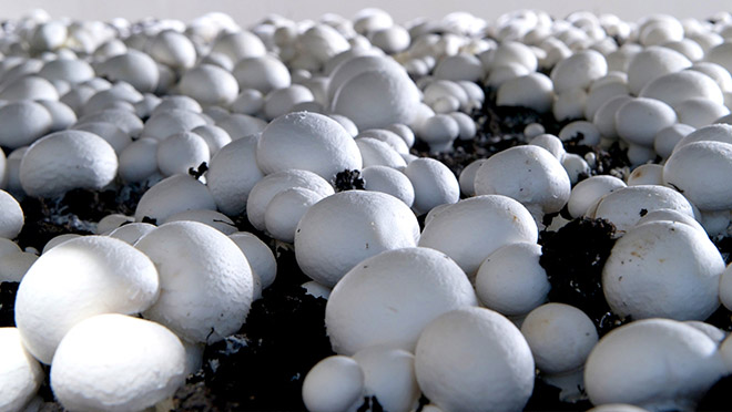 New way to produce biofuel from mushroom waste is a game-changer