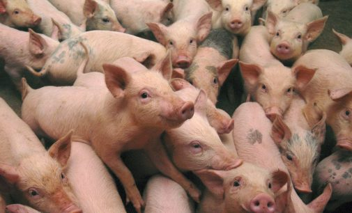Lean programme to support Irish pig producers